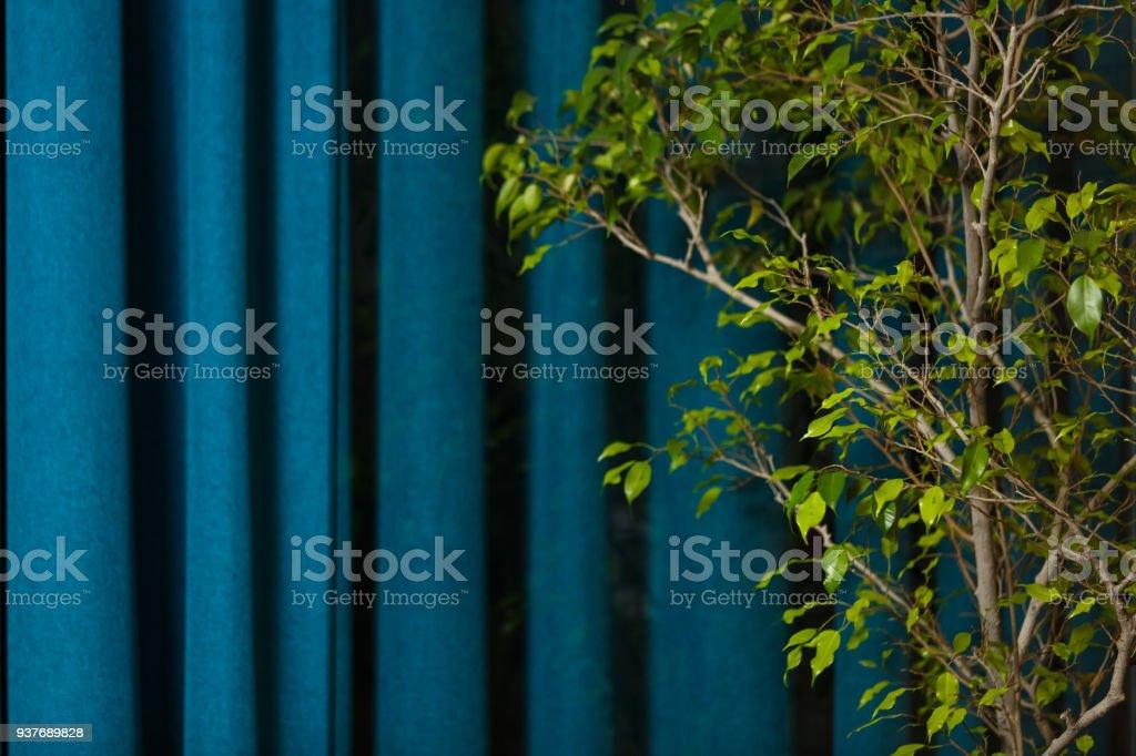 Benjamim do ficus, sobre um fundo azul - foto de acervo