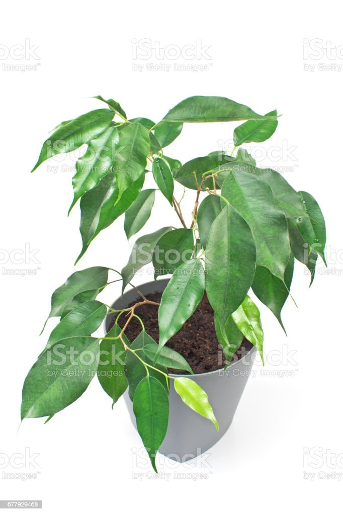 Ficus benjamin plant in pot isolated on white royalty-free stock photo