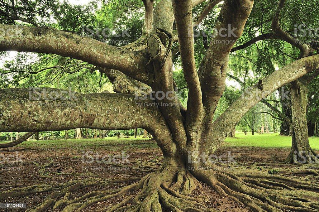 Ficus Benjamina in Royal Botanical Gardens, Paradeniya, Kandy, Sri Lanka stock photo