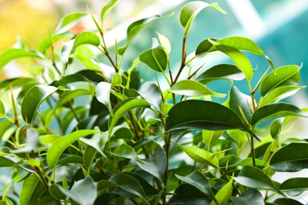 Ficus benjamina Pflanze weinende Feige aus nächster Nähe – Foto