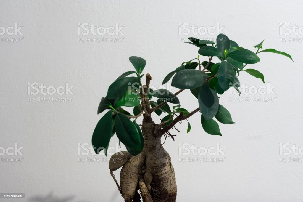 Ficus bonsai stock photo