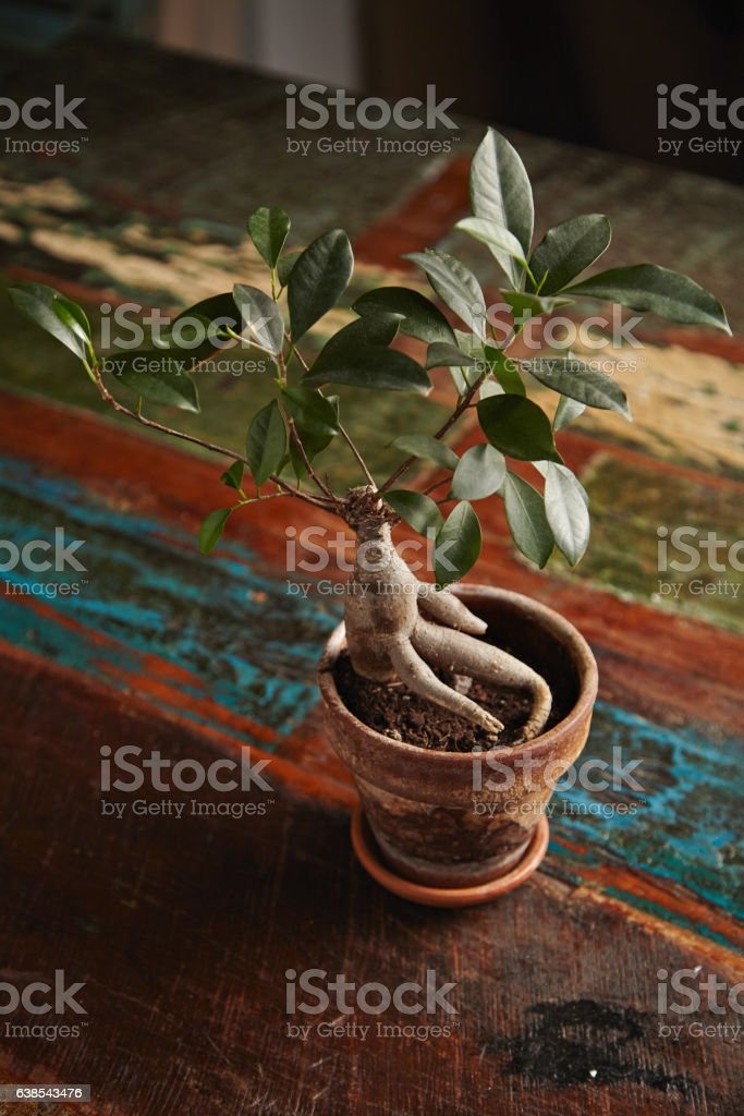 Ficus bonsai tree on old wooden table stock photo