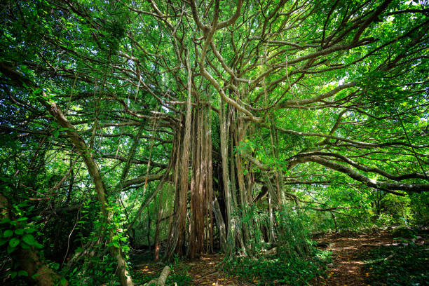 Ficus citrifolia tree or shortleaf fig, giant bearded fig in Martinique Island stock photo