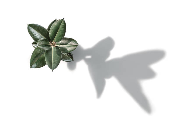 Ficus elastica, the Rubber plant, and its shadow, on 255 white stock photo