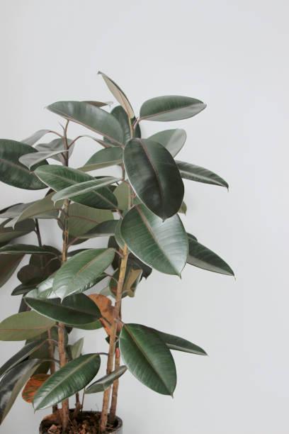 árbol De Caucho Banco De Fotos E Imágenes De Stock Istock