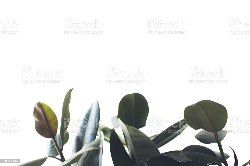 ficus foliage with copy space stock photo