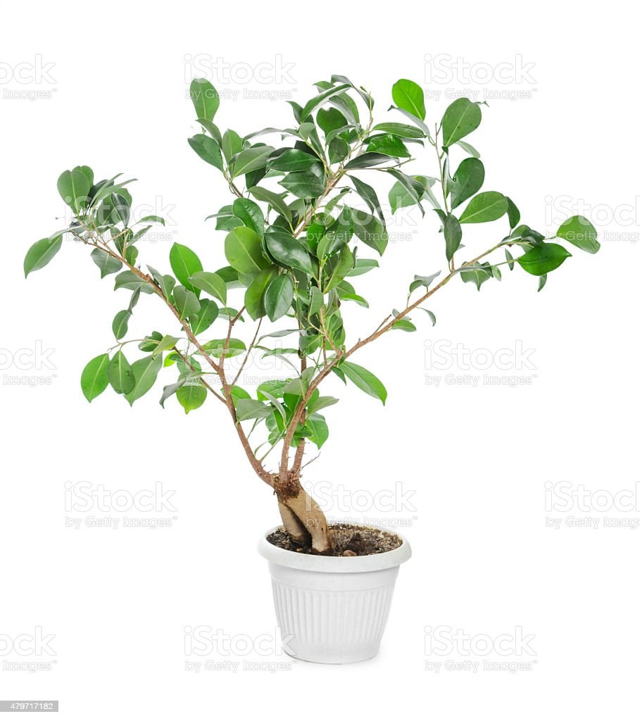Ficus ginseng in flowerpot stock photo