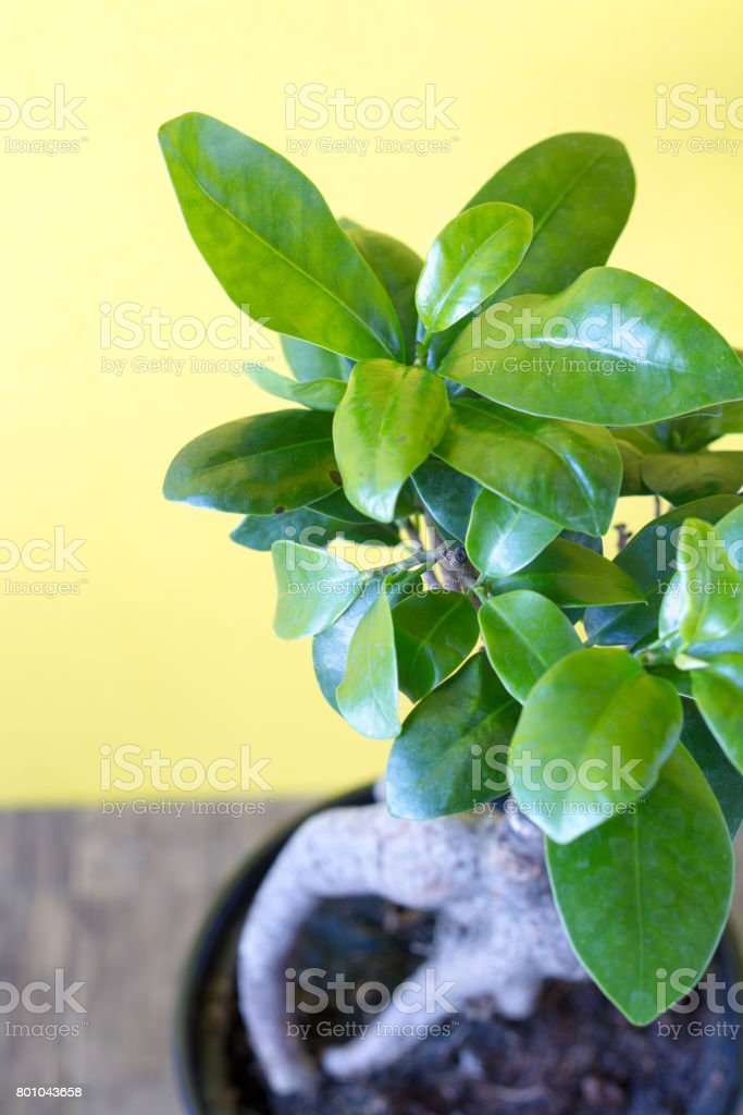 Ficus ginseng on a yellow background stock photo