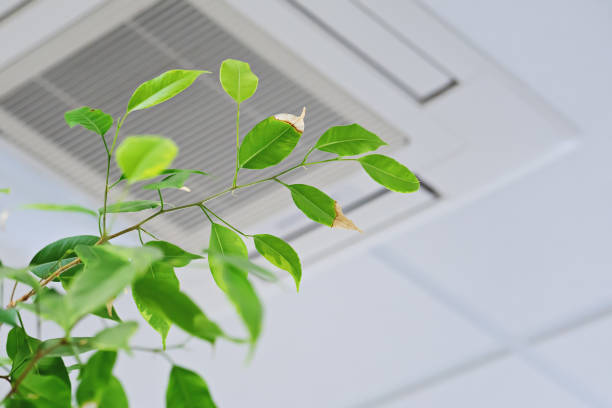 Ficus green leaves on the background ofceiling air conditioner stock photo