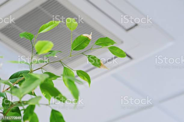 Photo of Ficus green leaves on the background ofceiling air conditioner