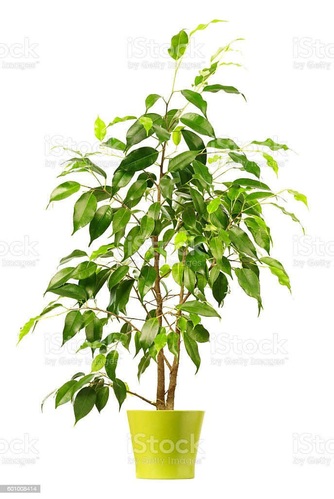 Ficus in flowerpot isolated on white background. - foto de acervo