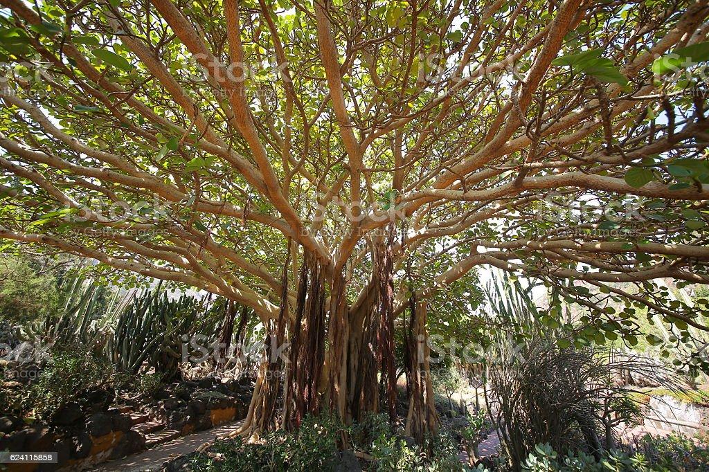 Ficus jard n bot nico viera y clavijo las palmas gran for Jardin botanico viera y clavijo