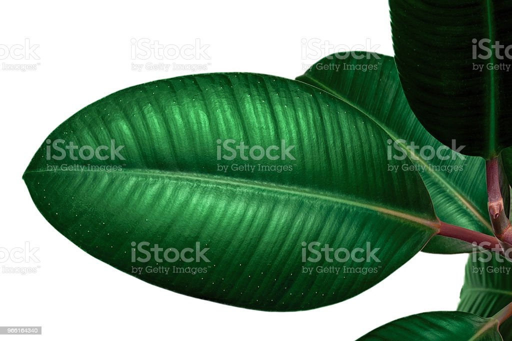 Ficus leaf isolated on white background. Closeup - Foto stock royalty-free di Alberello