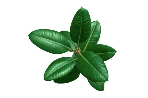 Ficus Blad Isolerade På Vit Bakgrund Närbild-foton och fler bilder på Beskrivande färg