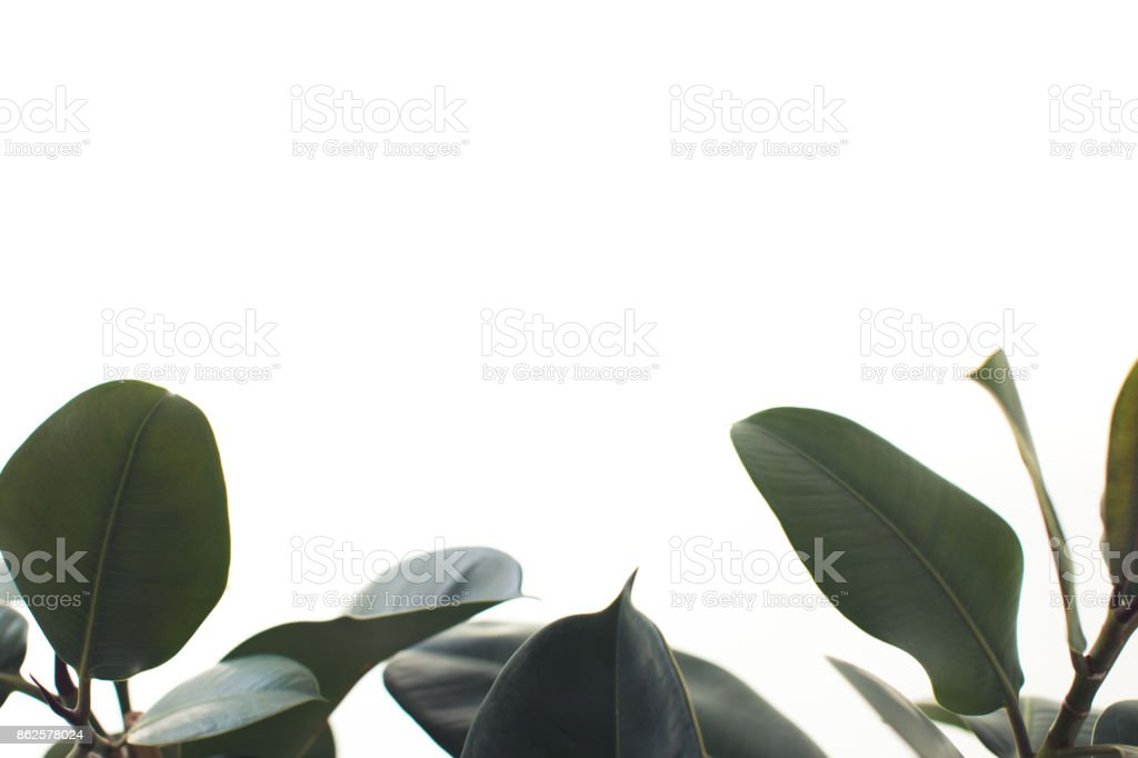 ficus leaves with copy space stock photo