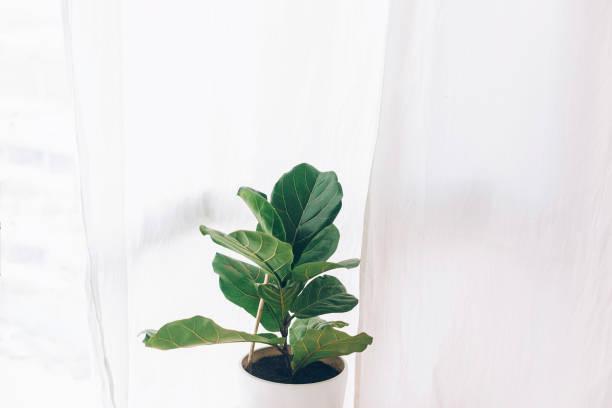 ficus lyrata. belle feuille de violon, plante de figuier avec de grandes feuilles vertes en pot blanc. élégant décor floral moderne à la maison dans le style minimal - figue photos et images de collection