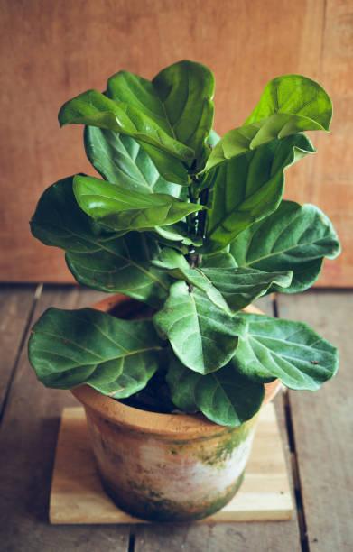 ficus lyrata en pots, arbre dans la maison ficus lyrata - figue photos et images de collection