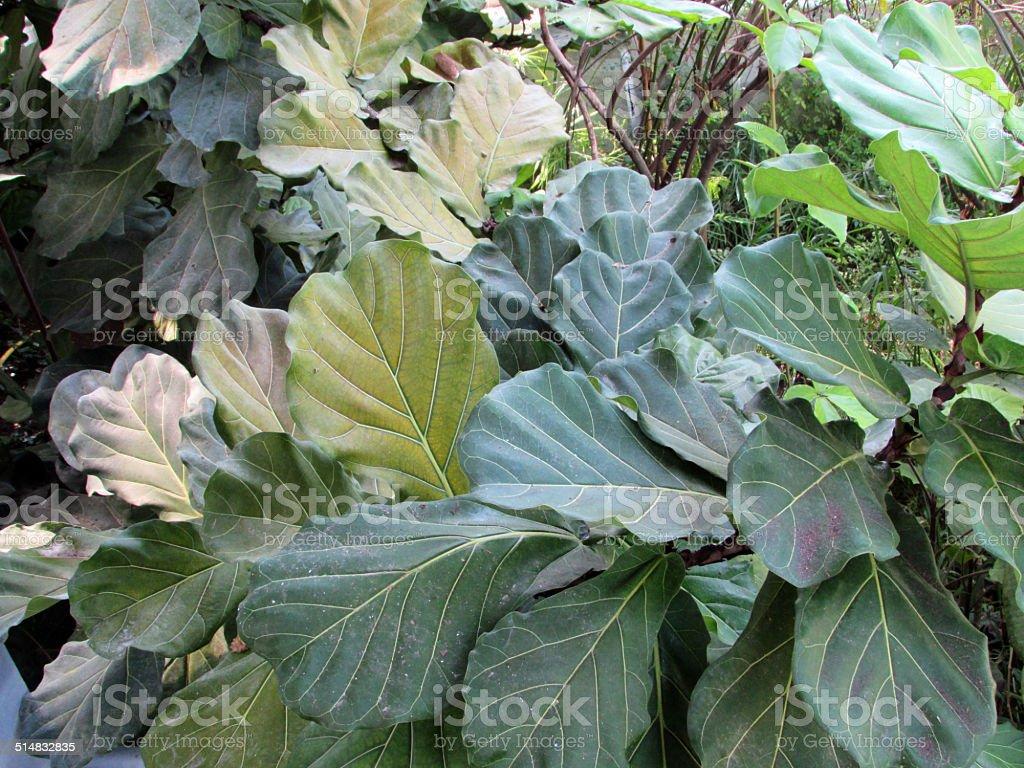Ficus lyrata stock photo