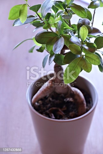 Bonsai Tree, Botany, Care, Fig Tree, Leaf, Decor, Bush, Flower Pot