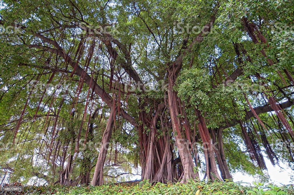 Ficus microcarpa Linn stock photo