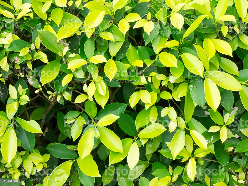Ficus microcarpa soft focus for background stock photo