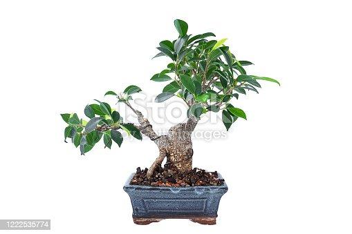 istock Ficus microcarpa tigerbark bonsai in training 1222535774