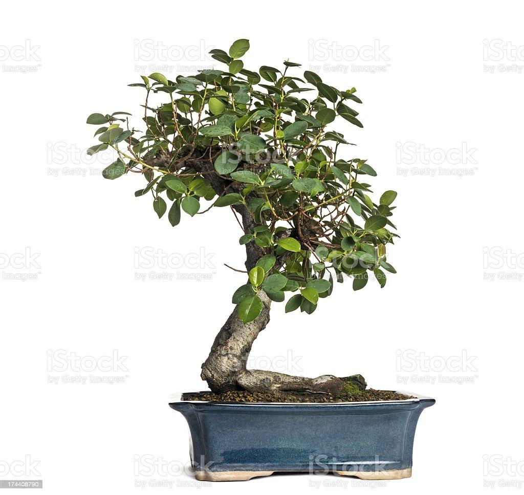 Ficus panda bonsai tree, isolated on white stock photo