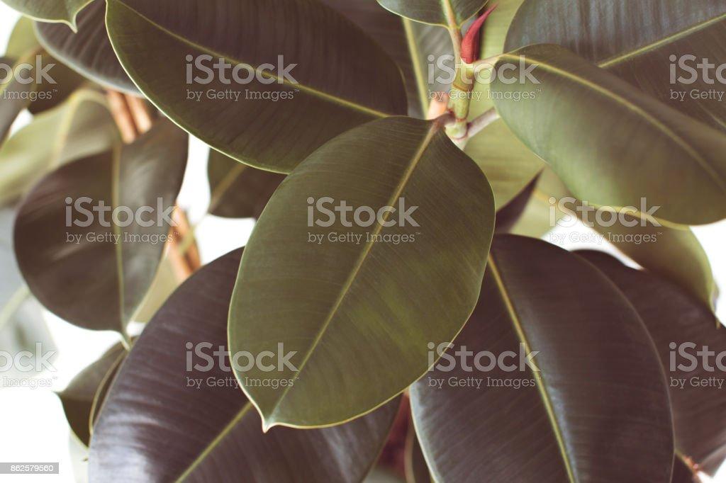 ficus plant texture stock photo