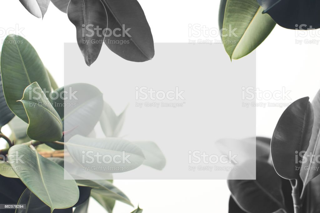 ficus plant with blank card stock photo