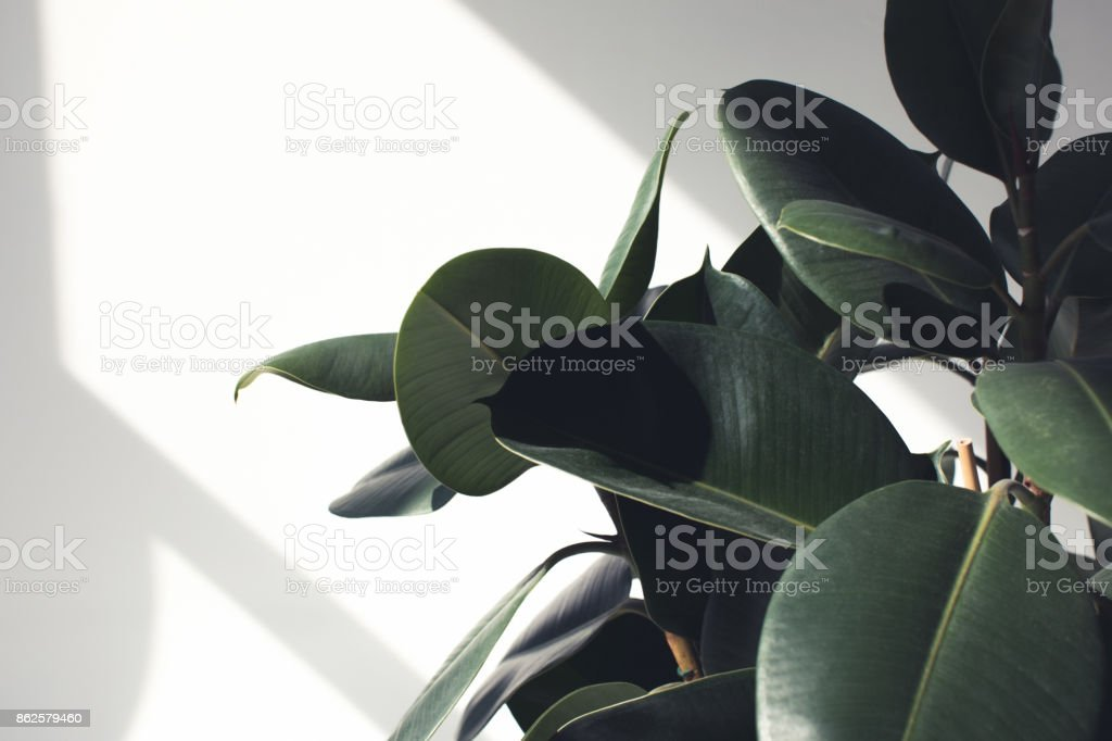 ficus plant with sunlight stock photo