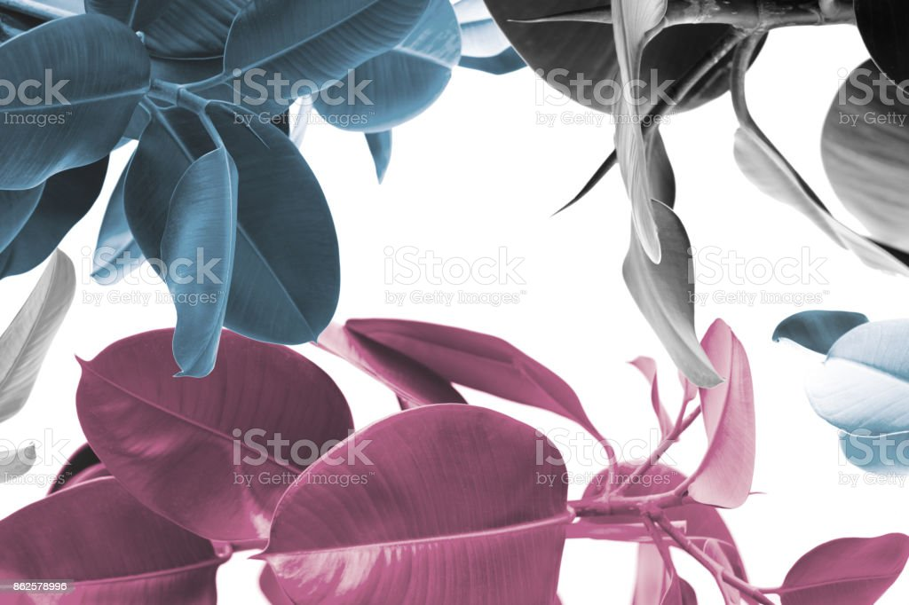 ficus plants texture stock photo