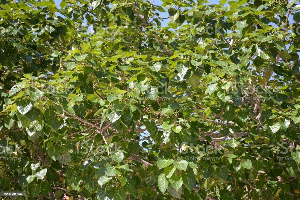 ficus religiosa leaves - foto de stock