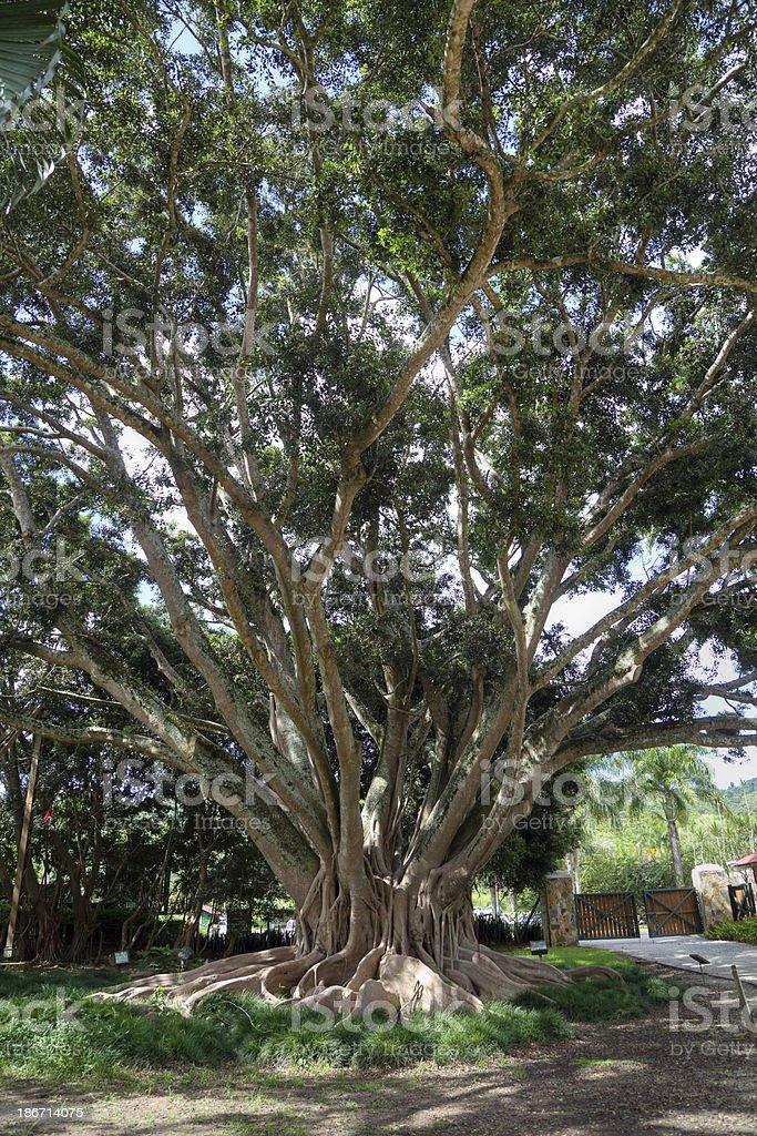Ficus Retusa,  Cuban-laurel Tree stock photo
