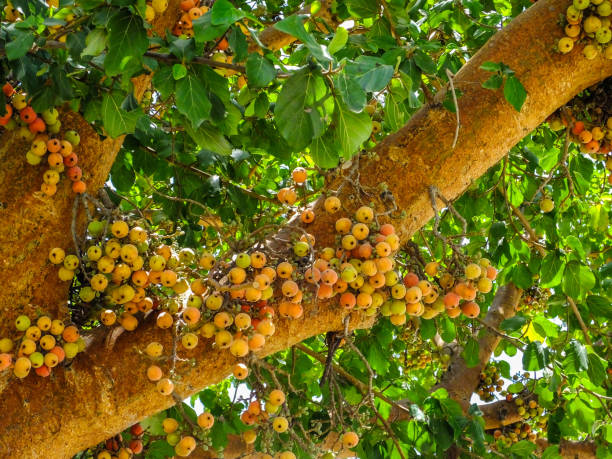 Ficus sycomorus, ficus racemosa Ficus sycomorus, ficus racemosa, sycamore figs, fig-mulberry, clusters of ripe figs on tree, naturalised species in Israel sycamore tree stock pictures, royalty-free photos & images