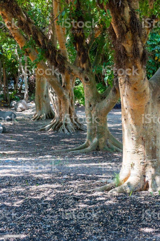 Photo Libre De Droit De Figuier Sycomore Ou Sycamore Trees