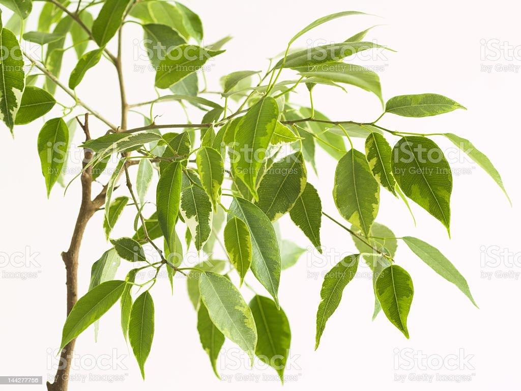 Ficus tree 2 royalty-free stock photo