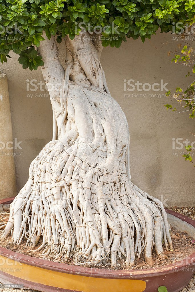 Ficus Tree and Roots stock photo