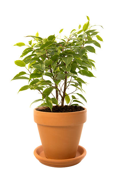 Ficus tree houseplant in clay pot stock photo
