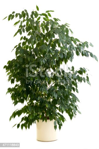 ficus tree in flowerpot isolated on white