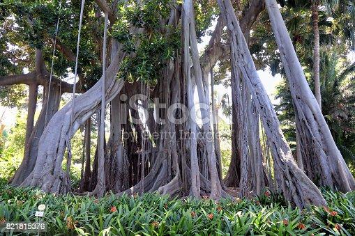 istock Ficus Tree 821815376