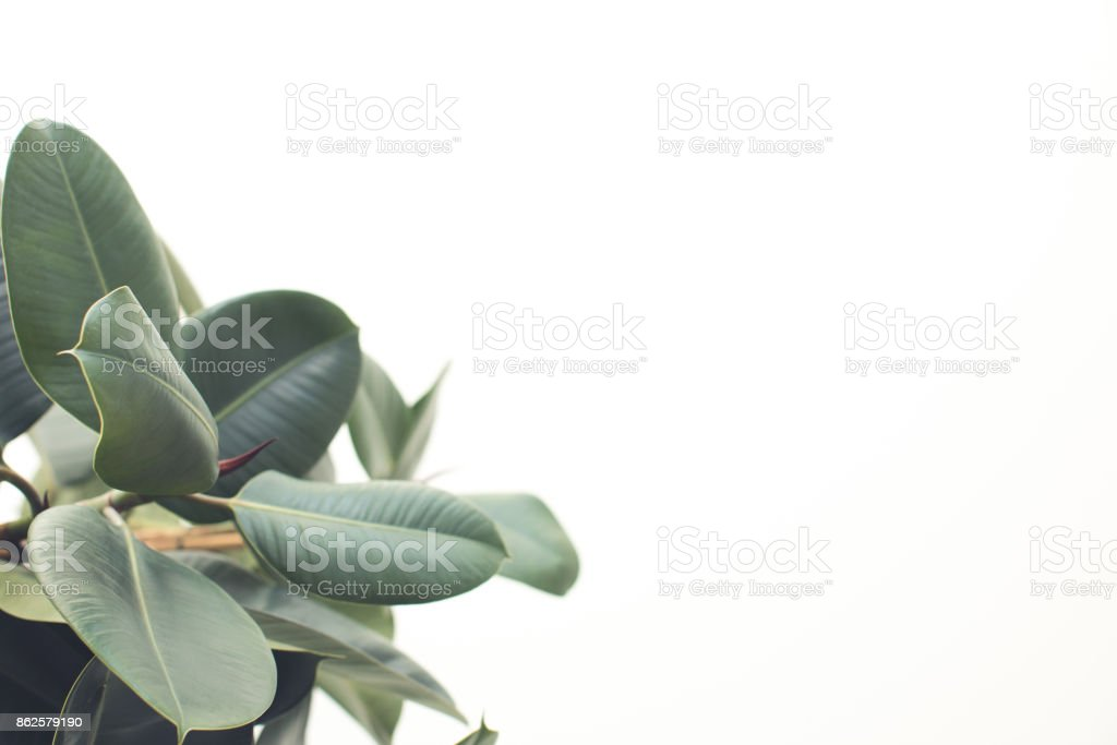 ficus with copy space stock photo