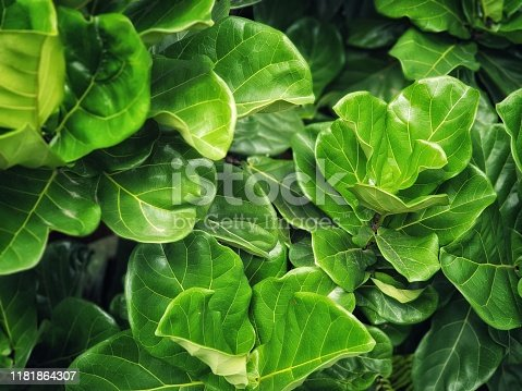 Fiddle Fig is a tropical plant in the Banyan family.Ficus Lyrata.green nature wallpaper.Large green leaves background