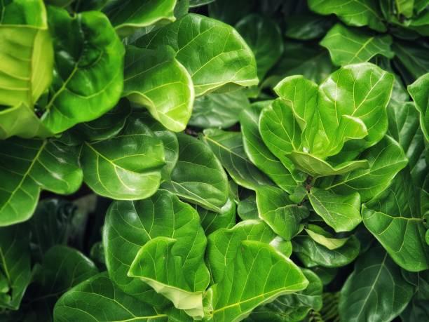 fiddle fig est une plante tropicale de la famille banyan - figue photos et images de collection