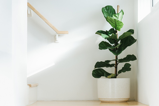 Fiddle leaf fig, Ficus lyrata, plant in circle white pot and place at the Corner of stair or ladder for decorate home or room. And there is sunlight coming from the right hand window.