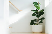 istock Fiddle leaf fig, Ficus lyrata, plant in circle white pot and place at the Corner of stair or ladder for decorate home or room. And there is sunlight coming from the right hand window. 1251342142