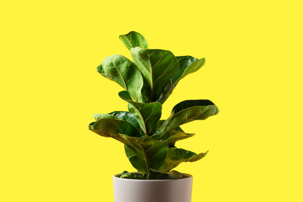 A Fiddle Leaf Fig or Ficus lyrata with large, green, shiny leaves planted isolated on yellow background. Home gardening. Banner with copy space A Fiddle Leaf Fig or Ficus lyrata with large, green, shiny leaves planted isolated on yellow background. Home gardening. Banner with copy space. caenorhabditis elegans stock pictures, royalty-free photos & images