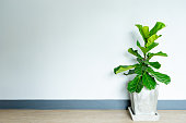 fiddle leaf fig tree in the cement pot.
