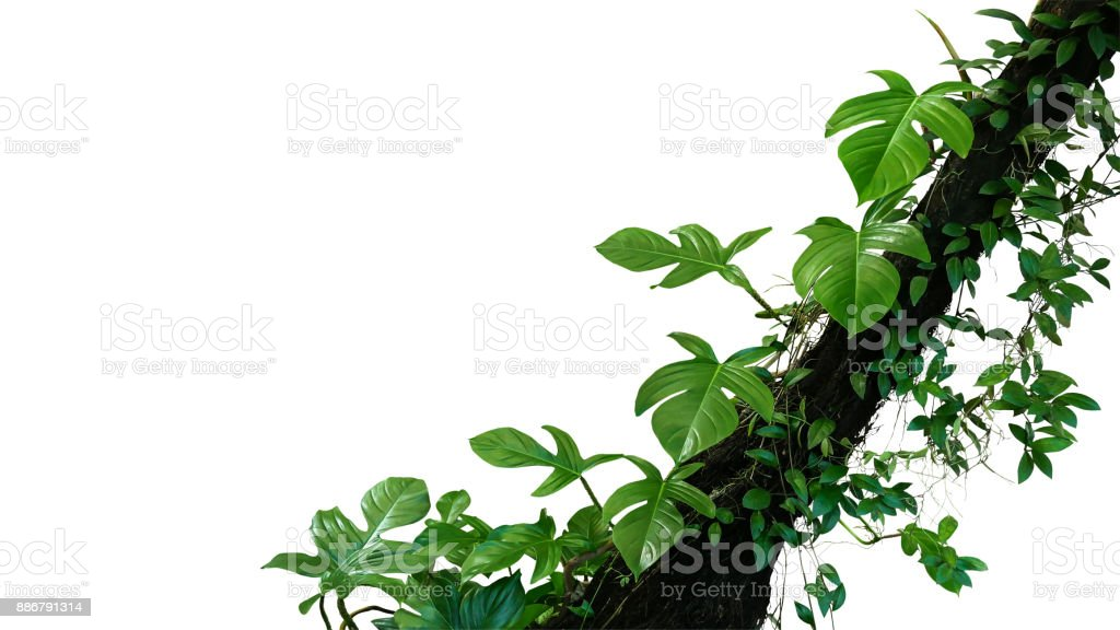 Fiddle leaf philodendron the tropical plant and jungle liana green leaves vines climbing on rainforest tree trunk isolated on white background, clipping path included. stock photo