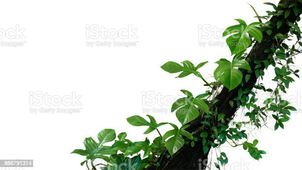 Fiddle Leaf Philodendron The Tropical Plant And Jungle Liana Green Leaves Vines Climbing On Rainforest Tree Trunk Isolated On White Background Clipping Path Included — стоковые фотографии и другие картинки Rhizoid
