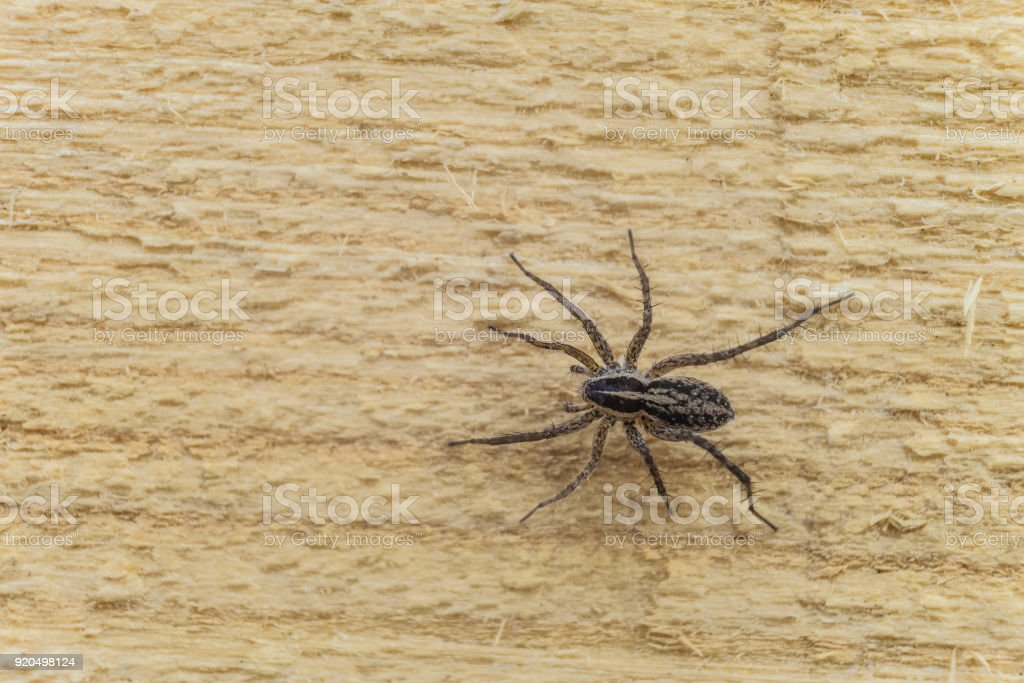 Fiddleback spider, Violin spider or Brown hermit spider (Loxosceles reclusa). Poisonous arthropod on a wooden surface. View from the top. Wildlife with selective focus. stock photo
